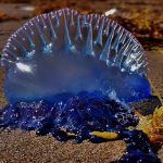 Venomous jellyfish spotted in Salthill